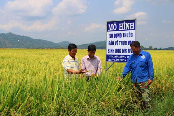 Cán bộ Hội Nông dân thị trấn Buôn Trấp tham quan mô hình trồng lúa của gia đình anh Bùi Khắc Kiểm.